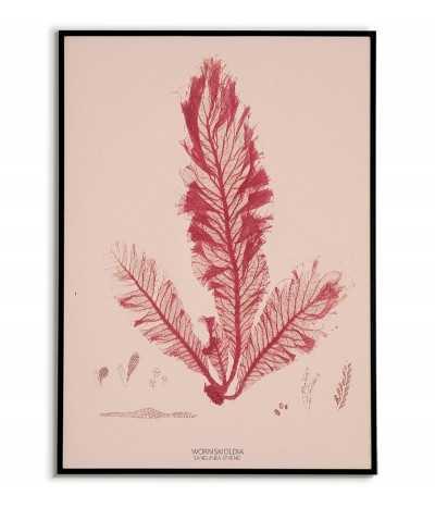 Plakat botaniczny z roślinami morskimi vintage retro. Glon o nazwie WORMSKIOLDIA