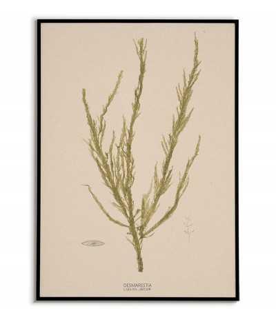 Plakat botaniczny z roślinami morskimi vintage retro. Glon o nazwie DESMARESTIA