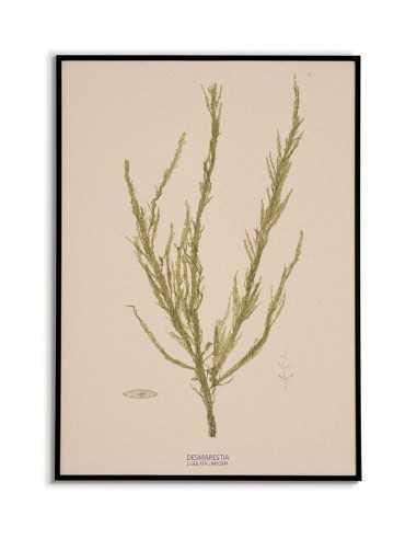 Plakat Botaniczny Z Algą Morską Vintage Retro Z Napisem Po łacińsku
