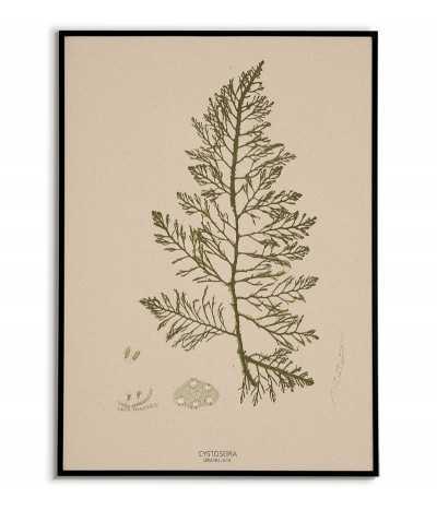 Plakat botaniczny z roślinami morskimi vintage retro. Glon o nazwie CYSTOSEIRA