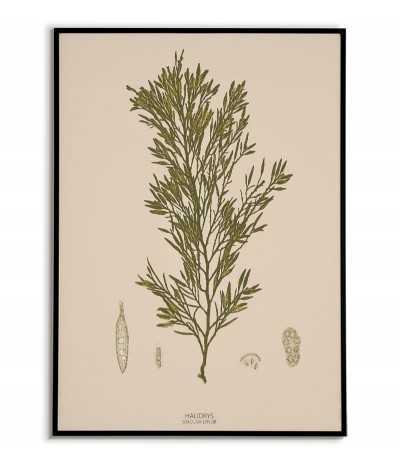 Plakat botaniczny z roślinami morskimi vintage retro. Glon o nazwie HALIDRYS