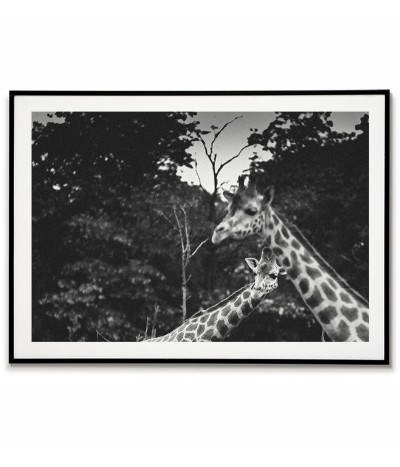 Inquisitive giraffes -...