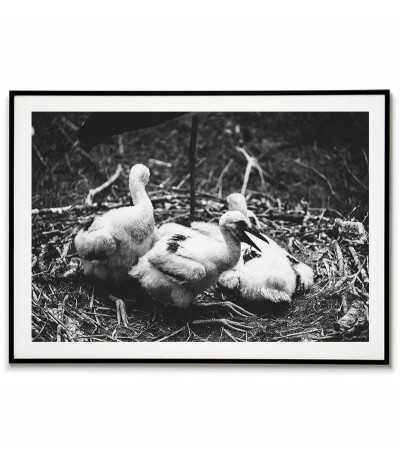 White stork chicks - black...