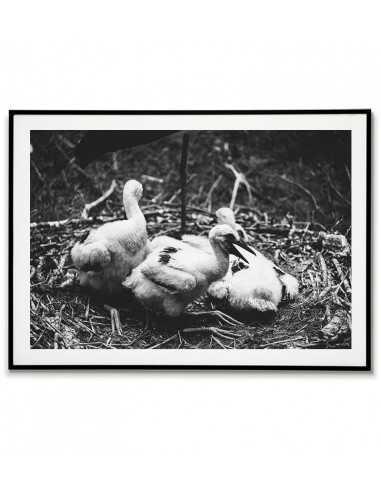 White stork chicks - black and white...