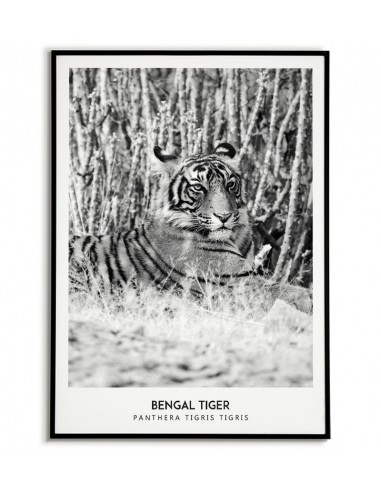 A4 Stunning Wildlife Poster Print White Tiger *DISCOUNTED OFFERS*  A3