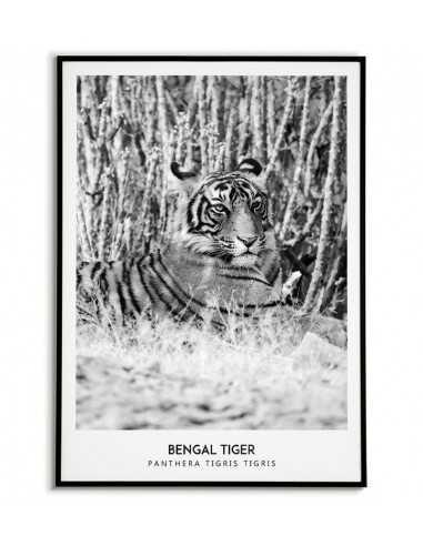 Wild tiger - Scandinavian poster