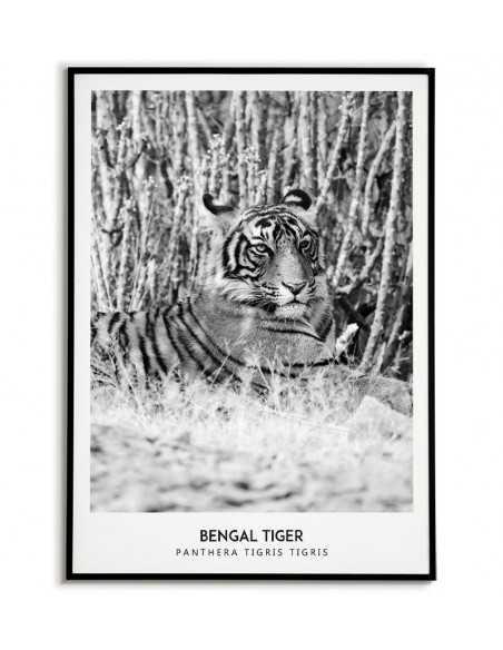 Plakat skandynawski z tygrysem i nazwą w języku angielskim oraz łacińskim. Plakat do ramki