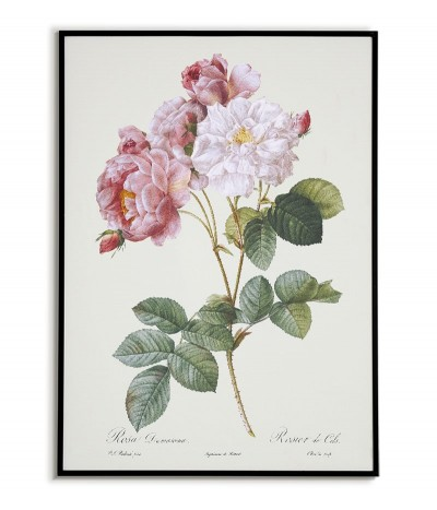 Damask rose botanical...