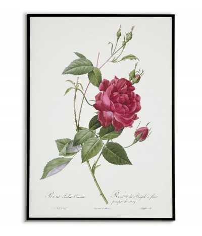 Plakat botaniczny vintage z czerwoną różą na plakacie edukacyjnym znajduje się kwiat i podpis z jego nazwą