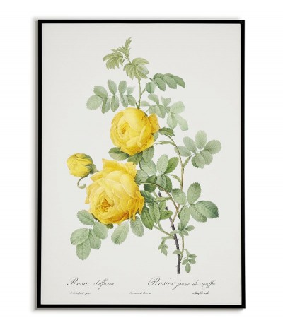 ROSA SULFUREA botanical...