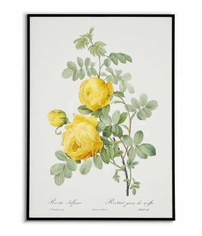 plakat botaniczny żółta róża z zielonymi liśćmi, stary plakat vintage