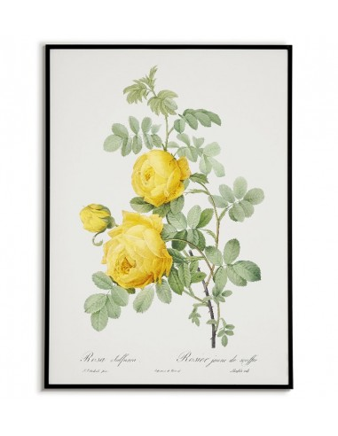 ROSA SULFUREA botanical poster with...
