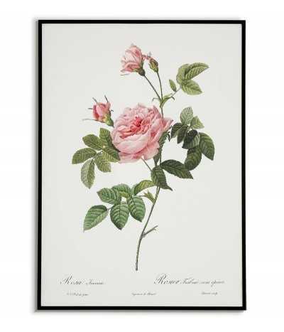plakat botaniczny z piękną różą, stara ilustracja, plakat vintage