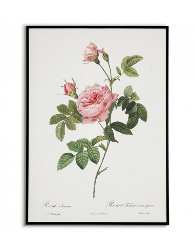 ROSA INERMIS botanical poster with...