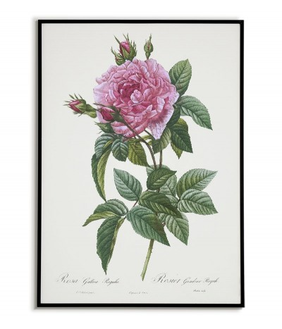 ROSA GALLICA REGALI...
