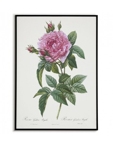 ROSA GALLICA REGALI Botanical poster...