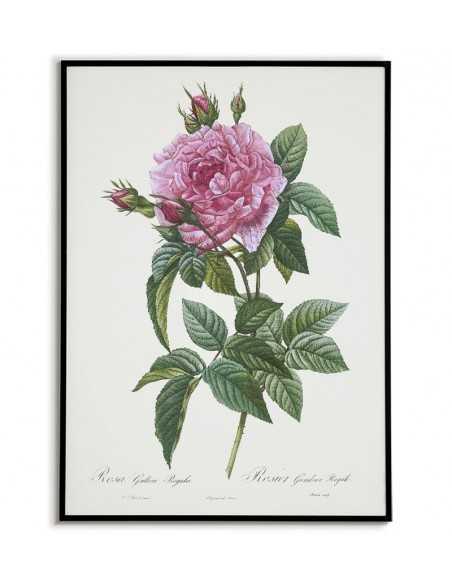 plakat z kwiatem botaniczny, stary vintage, plakat z różą