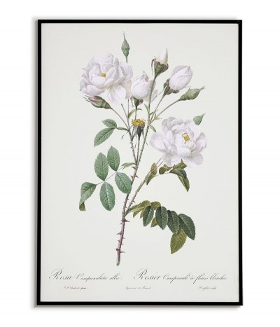 ROSA CAMPANULATA Botanical...