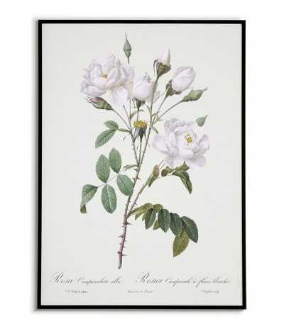 Plakat botaniczny z kwiatami, biała różą do ramki