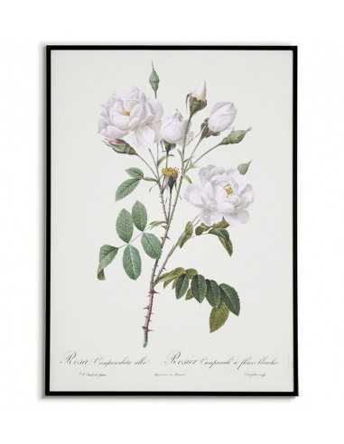 ROSA CAMPANULATA Botanical poster...