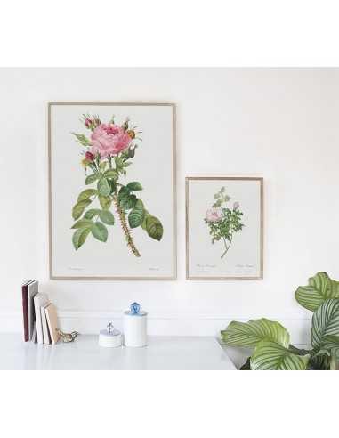 Plakat z różą botaniczny, piękna czerwona  róża z kolcami