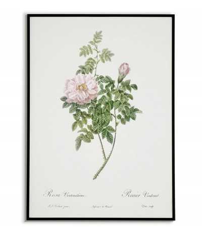 plakat z różową różą, botaniczny do ramki lub na ścianę