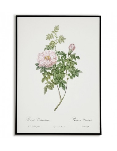 ROSEA VENTENATIANA botanical poster...