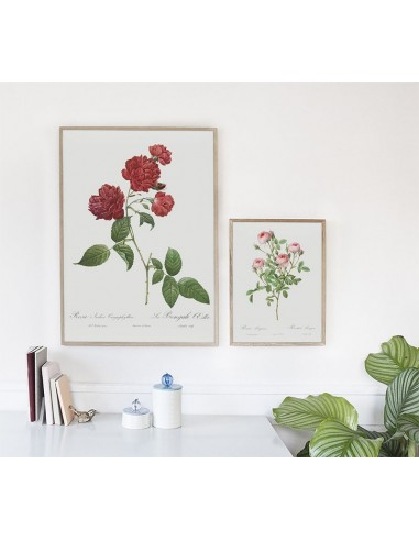 ROSA INDICA Botanical poster with...