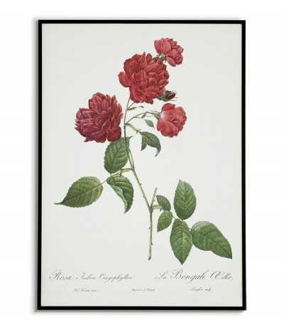 ROSA INDICA Botanical...