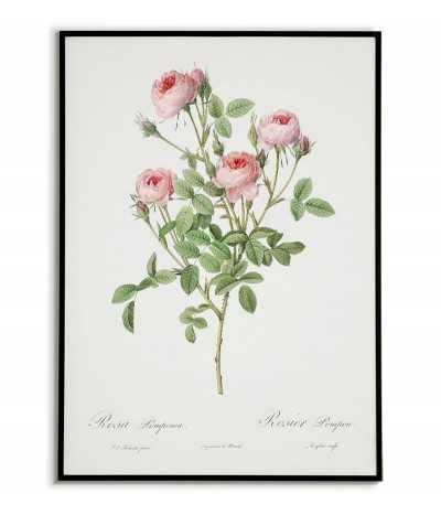 ROSA LOMPONIA botanical...
