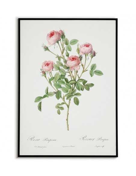 Plakat vintage z roślinom do ramki, plakat z różą stary