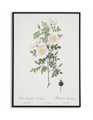 ROSA PIMPINELLIFOLI Botanical poster...