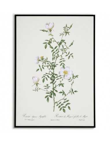 ROSA SEPIUM Botanical poster with...