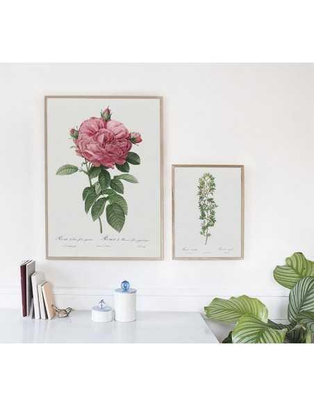 Plakat botaniczny z czerwoną różą w stylu vintage idealny do ramki