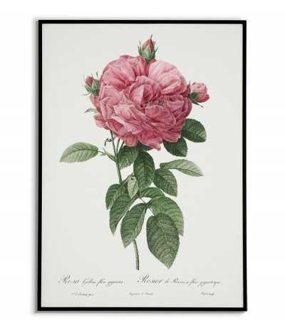 ROSA GALICIA botanical...