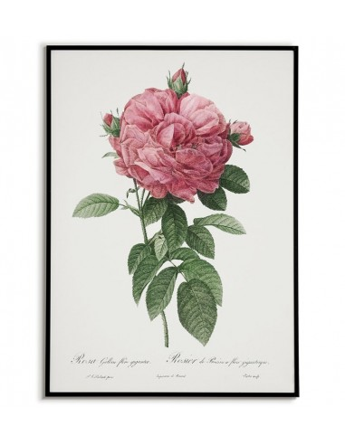 ROSA GALICIA botanical poster with...