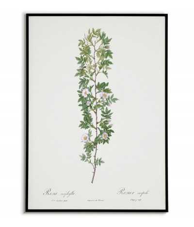 ROSA ACIPHYLLA Botanical...