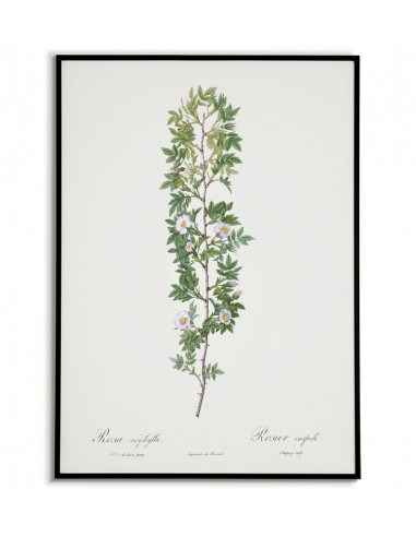 ROSA ACIPHYLLA Botanical poster with...