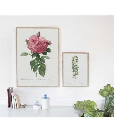 plakat botaniczny z pięknym kwiatem róży, plakat w stylu vintage z rośliną