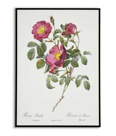 ROSA PUMILA Botanical...