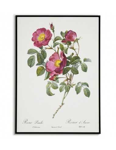 Plakat vintage botaniczny z kwiatem i rośliną. Plakat z kwiatem czerwonej róży