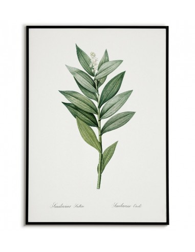 STAR FLOWERED botanical poster with...
