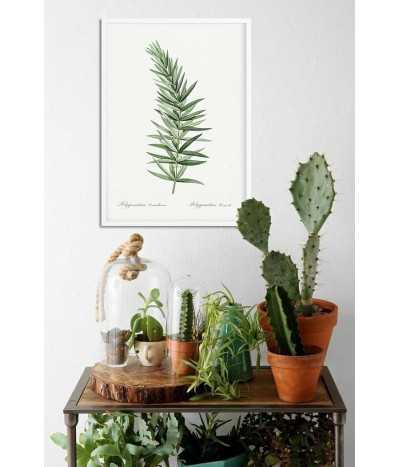 KOKORYCZKA OKÓŁKOWA plakat botaniczny z rośliną wykonany w starym stylu vintage