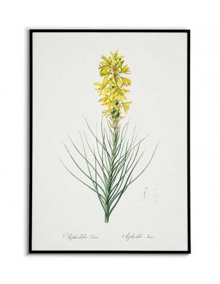 ZŁOTNICA ŻÓŁTA plakat botaniczny z kwiatem - Vintage