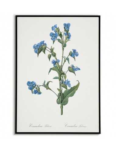 COMMELINA TUBEROSA plakat botaniczny...