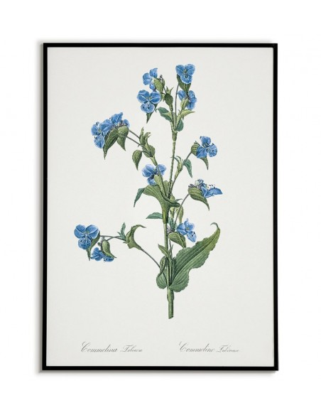 COMMELINA TUBEROSA plakat botaniczny z kwiatem - Vintage
