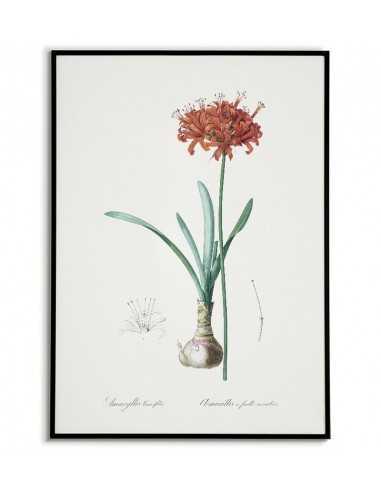 Plakat botaniczny z czerwonym kwiatem AMARYLIS wykonany ręcznie w stylu vintage