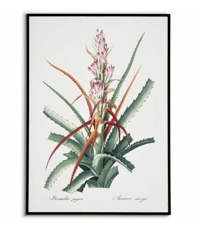 BROMELIA Botanical poster...