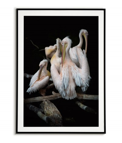 Poster - Pelicans - photo...