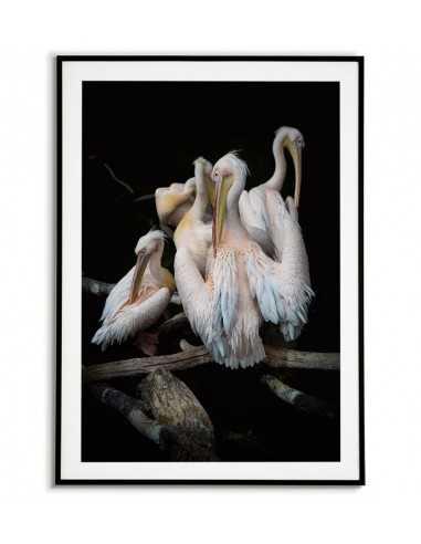 Plakat - Pelikany - plakat fotograficzny z ptakami